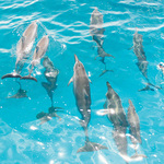 Dolphin Watching and Lunch Cruise - Oahu Product Image