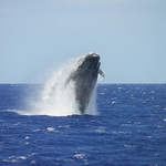 Whale Watching Cruise - Oahu Product Image